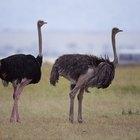 Cómo criar huevos de avestruz