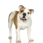 What Do You Use to Clean out an English Bulldog's Wrinkles & Ears?