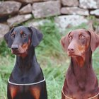 Common Skin Disorders in Dobermans