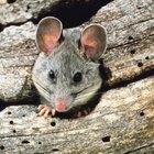 Cómo eliminar las ratas del exterior de tu hogar
