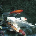 Common Speckled Goldfish