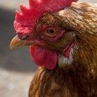 Sinais e sintomas de entupimento no papo de galinhas