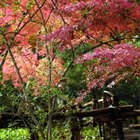 Japanese maple trees glow with seasonal color.