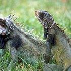 Las iguanas más grandes
