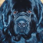 Newfoundland Dog Behavior