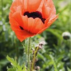 Is Growing Poppies Illegal?