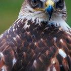 Lista de razas de halcones