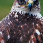 List of Hawk Breeds