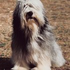 Bearded Collie Grooming Styles