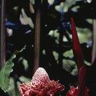 Como plantar sementes de rosa-de-porcelana