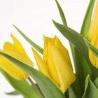 Información de la flor de tulipán