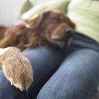 O que fazer quando as almofadas das patas do meu cão estão ressecadas e ásperas como uma lixa?