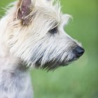 How to Stop Aggressive Behavior in Cairn Terriers