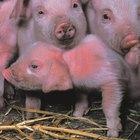 Como fazer bebedouros para porcos