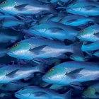 Como fazer charque de peixe