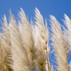 Is Pampas Grass Toxic?