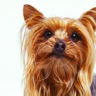 How to Keep Pollen Out of Your Yorkie's Long Fur