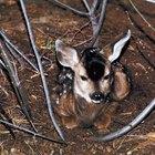 Cómo criar un ciervo bebé