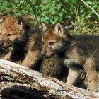 Como lobos cinzentos tomam conta de seus filhotes