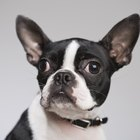 How to Stop Boston Terrier Licking