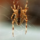 Different kinds of striped spiders