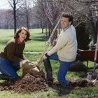 Properly planting cottonwoods is the best way to prevent future infestation by the cottonwood borer.