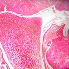 A função do córtex renal