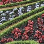 Buxus en maceta
