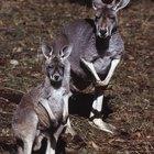 La diferencia entre los marsupiales y placentarios