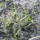 How to repair burnt grass