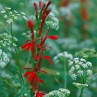 Cardinal flowers have striking red blossoms.