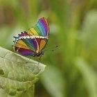Como as borboletas se reproduzem?