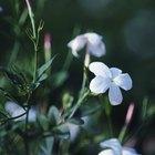 Are Jasmine Plants Poisonous to Animals?