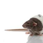 Como tirar ratos de seu esconderijo