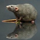 Cómo limpiar luego de que una rata ha invadido tu habitación