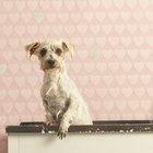 ¿Por qué un perro apesta después de un baño?