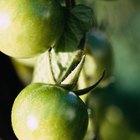 Cómo podar los tomates para obtener un fruto más grande