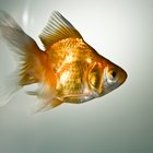 How to Stop Goldfish Spawning