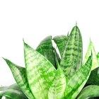 Cómo cuidar de una planta Sansevieria