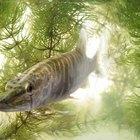 raw sliced steak of sturgeon fish with greens, lemon,