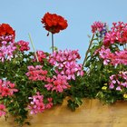 How to propagate and split perennial geraniums