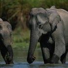 Como saber a diferença entre os elefantes africanos e os asiáticos