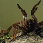 How tarantulas adapt to their environment