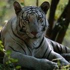Acerca del tigre blanco