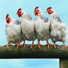 Como fazer uma galinha parar de cacarejar