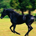 Como deixar um cavalo preto mais preto para uma apresentação
