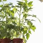 Problemas de hojas curvadas en las plantas de tomate