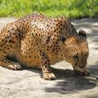 Qual é a teia alimentar do guepardo?