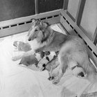 Why Would a Mother Dog Reject a Newborn Puppy?