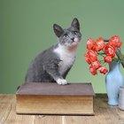 As pétalas de rosas são venenosas para gatos?